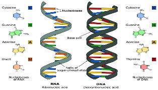 CNR: NUOVO METODO PER LO STUDIO DEL RUOLO DELL'RNA NELLA RISPOSTA AL DANNO DEL DNA