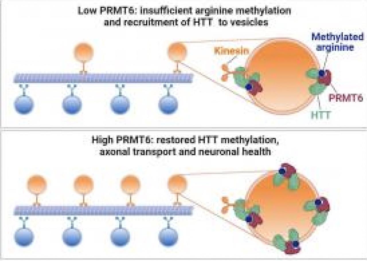 Malattia di Huntington e viabilità interna dei neuroni: anche l'Università di Trento nel team internazionale che ha condotto la ricerca