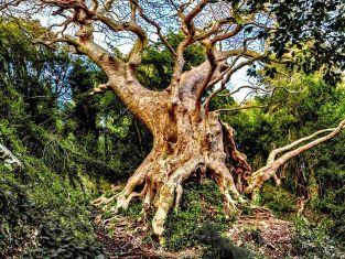 """Catanzaro: il Platano di Curinga al secondo posto dello """"European Tree Of The Year"""""""