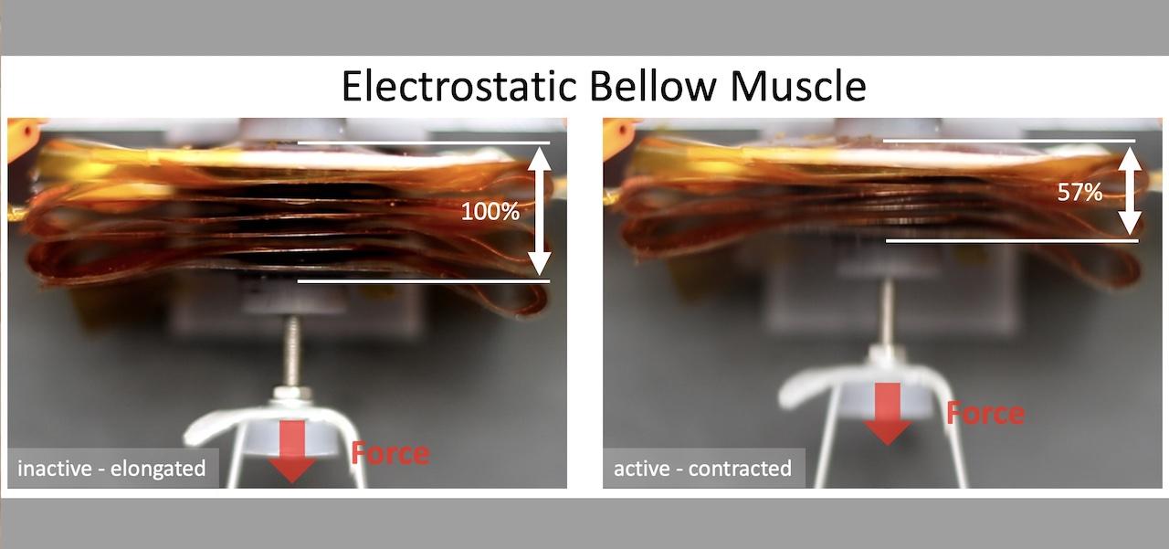 """Dal mantice della fisarmonica l'ispirazione per i più innovativi muscoli artificiali: pubblicato su """"Science Robotics"""" il risultato del lavoro di un team della Sant"""