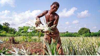 Brio: il covid non ferma l'ananas dolcetto/ bilancio positivo per progetto dell'Aics in Togo