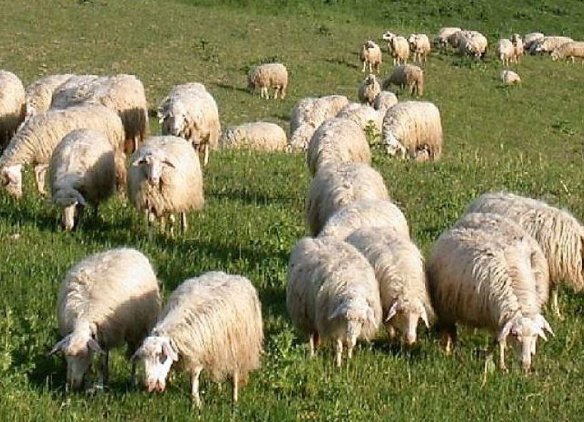"""""""SHEEPTOSHIPLIFE"""": IL CNR COORDINA IL PROGETTO UE SUL COMPARTO OVINO SARDO"""