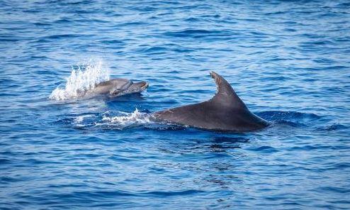 CNR: BALENE E DELFINI MINACCIATI DA PLASTICA PESCA E TRAFFICO MARITTIMO