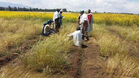 DALL'ETIOPIA ARRIVA IL TEFF: L'ANTICHISSIMO CEREALE NELLO STUDIO DEI RICERCATORI DELLA SANT'ANNA DI PISA CON I COLLEGHI ETIOPI
