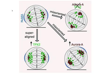 Ricerca sui tumori: nuovo studio sulla divisione cellulare di CNR e IEO
